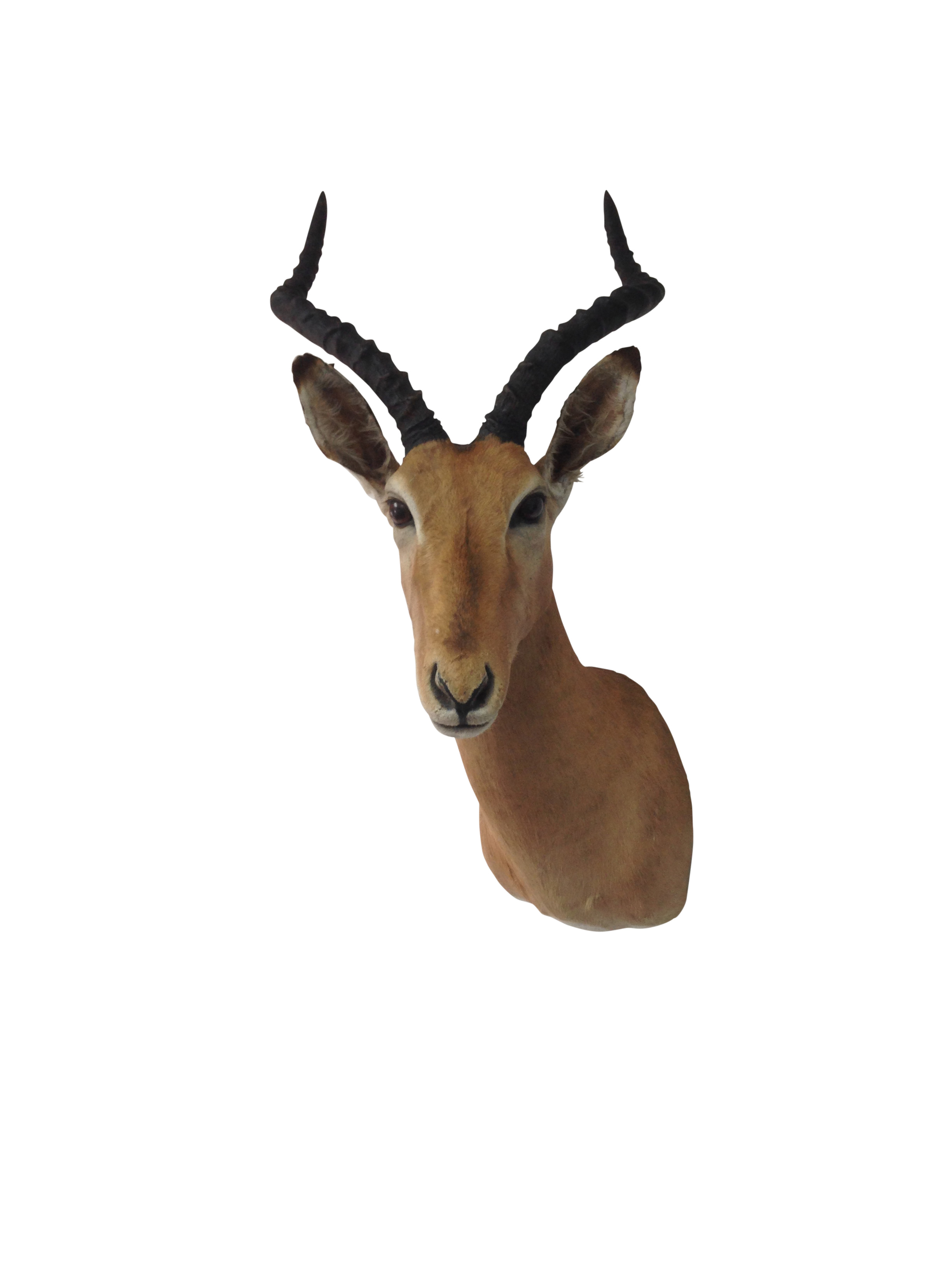 Impala Taxidermy Shoulder