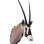 Gemsbok Taxidermy Shoulder